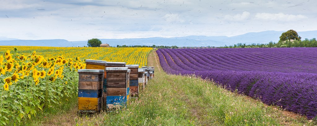 Zonnebloem-en lavendelvelden met bijenkisten